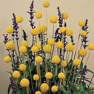 Craspedia Billy Buttons Yellow