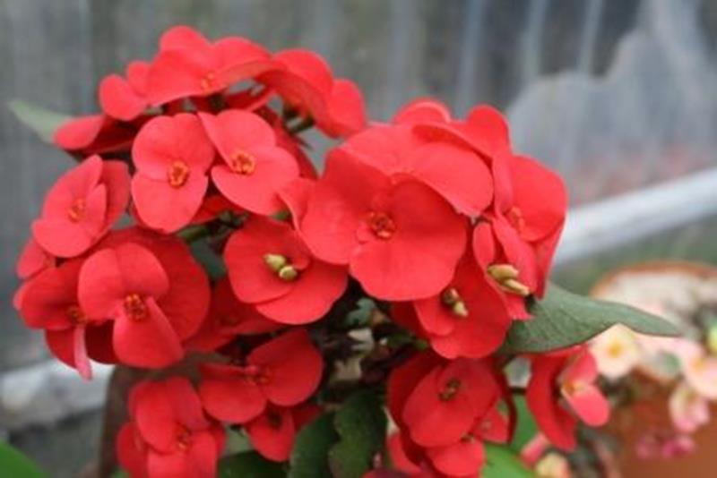 Euphorbia Daniela