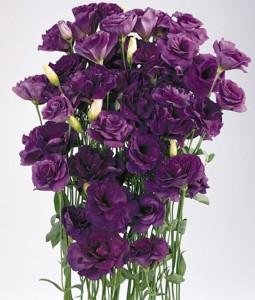 Lisianthus Avila Purple