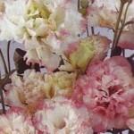 Lisianthus Avila Rose Rim