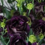 Lisianthus Rosanne Black Pearl