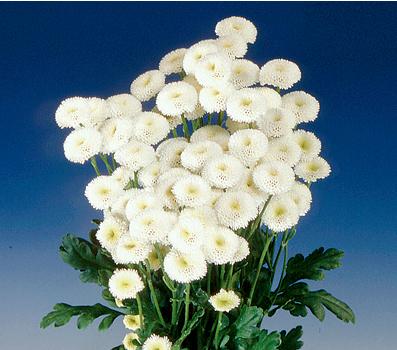Matricaria Vigmo White