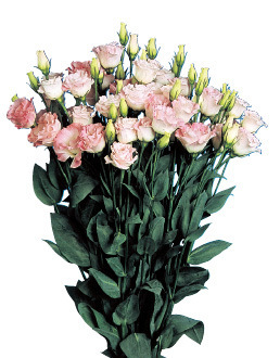 Lisianthus Papillon Pink Flash