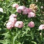 Dianthus Pesco Bruno