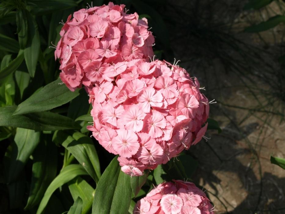 Dianthus Rosa Sport
