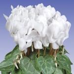 Ciclamino Super Compact White