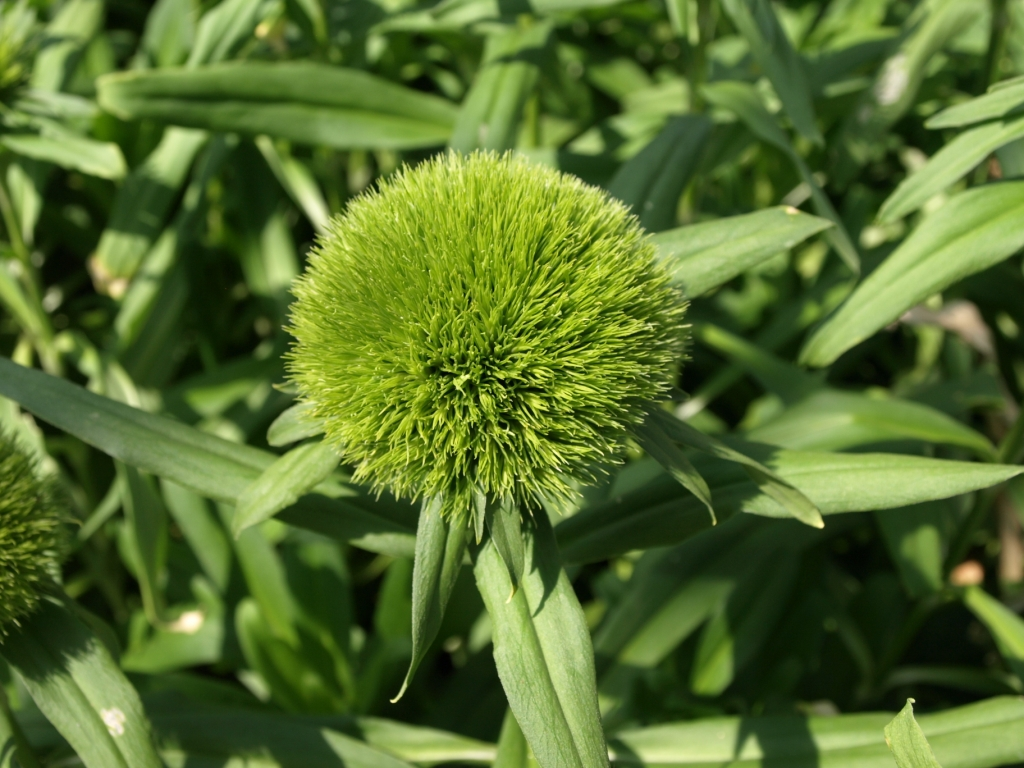 Dianthus Verde Nuovo