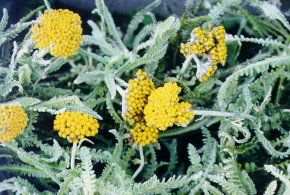 Achillea Coarctata Yellow