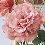 Lisianthus Avila Deep Pink