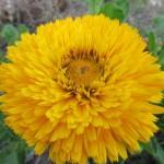 Calendula Faron Yellow Green