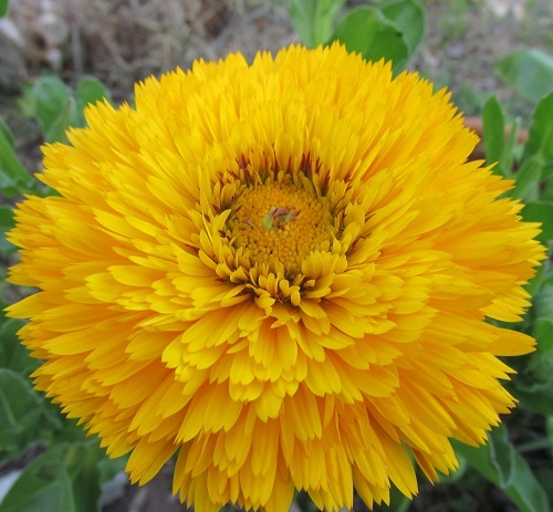 Calendula Faron Yellow Green