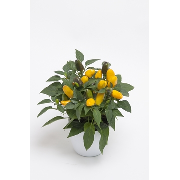 Capsicum Cubana Yellow