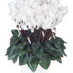 Ciclamino Metis Pure White