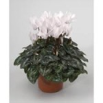 Ciclamino Miracle White