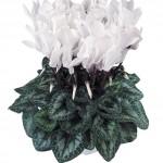Ciclamino Latinia Pure White