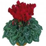 Ciclamino Latinia Scarlet Red