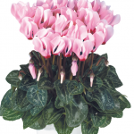 Ciclamino Metis Light Pink With Eye