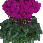 Ciclamino Metis Purple