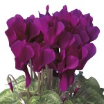 Ciclamino Mini Winter Dark Violet