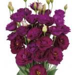 Lisianthus Minuet Dark Purple