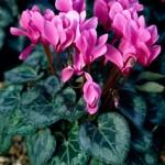 Ciclamino Miracle Deep Rose