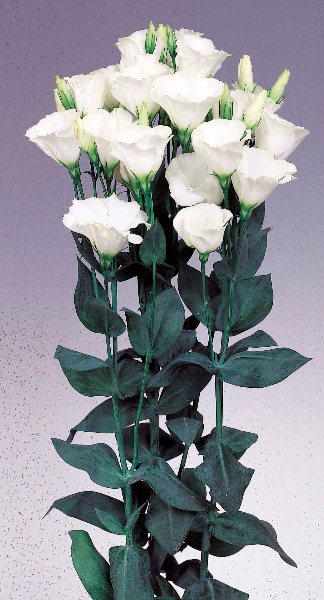 Lisianthus Mirage White