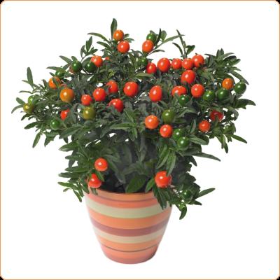 Solanum Thurino