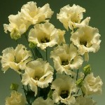 Lisianthus Falda Yellow