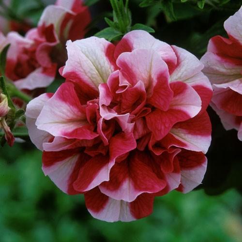 Petunia Tumbelina Cherry Ripple