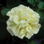 Petunia Tumbelina Susanna