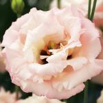Lisianthus Corelli Light Pink