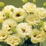 Lisianthus Corelli Yellow