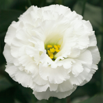 Lisianthus Corelli White